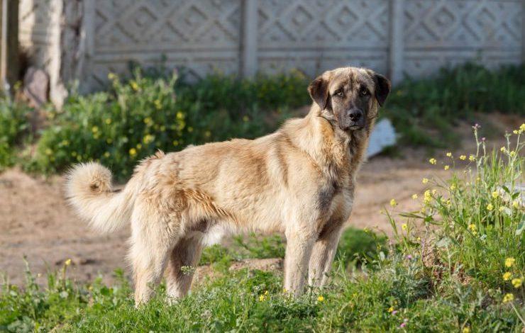 En Bilindik 5 Anadolu Çoban Köpeği Cinsi