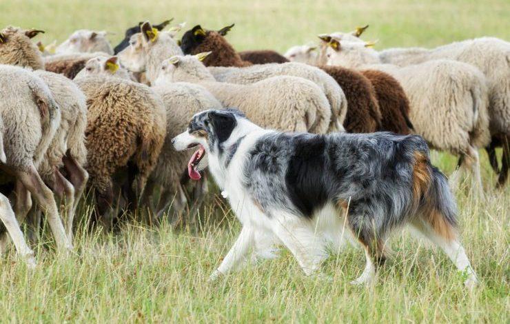 Çoban Köpeği Cinsleri: En Bilindik 10 Çoban Köpeği