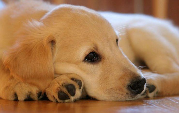 Golden Köpek İsimleri