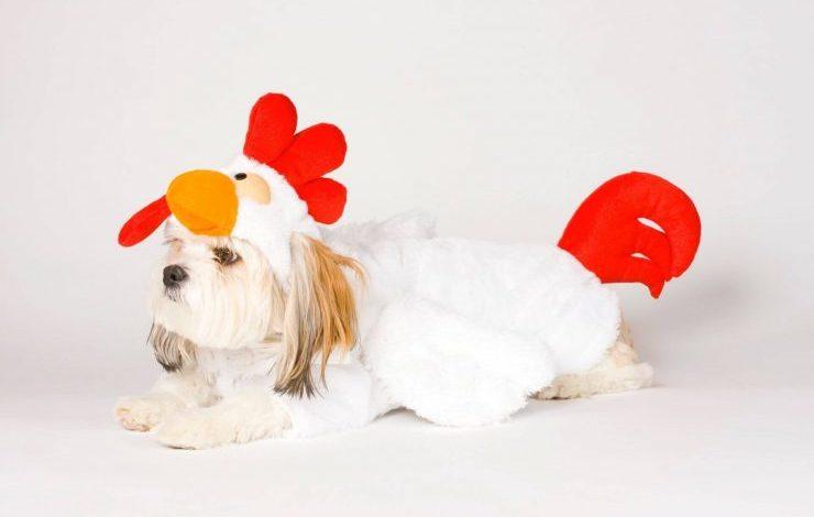 Köpek Tavuk Yer mi?