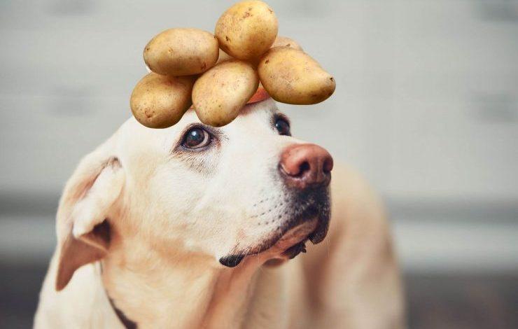 Köpekler Patates Yer mi?