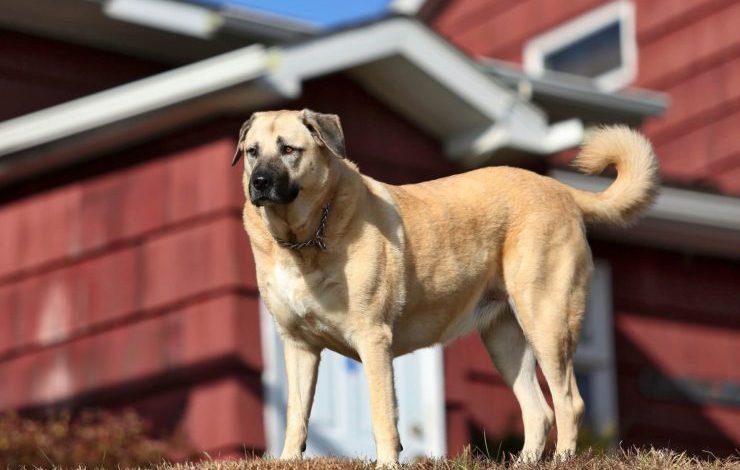 Türk Köpek Cinsleri: Türkiye'deki 5 Türk Köpek Cinsi