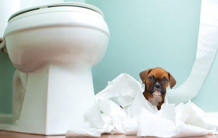 Yavru Köpeklerde Tuvalet Eğitimi Nasıl Olmalı?